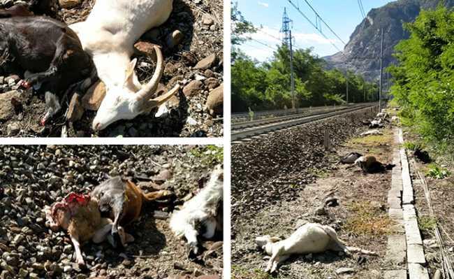capre morte ferrovia