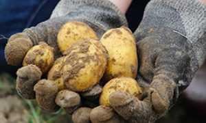 corta patate coltivate mano