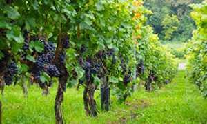 corta vitigno uva vino