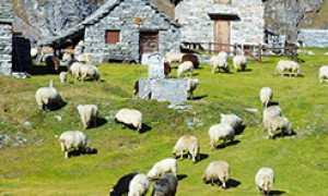 270.pecore baita montagna