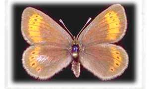 b farfalla ossola erebia christi ghiacciai