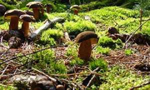 b funghi porcini