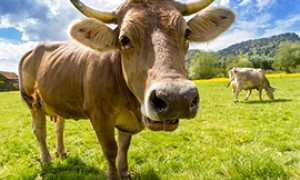 b mucca vacca prato