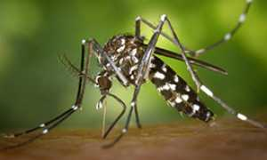 b zanzara tigre