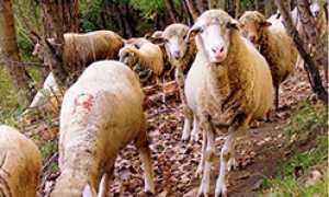 corta pecore gregge