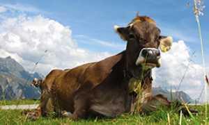 corta vacca prato