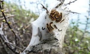 processionaria nido bianco verme